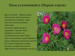 Пион марьин корень: фото, лечебные свойства и применение